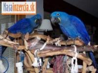 Cvičil Hyacint Papoušek S Papíry