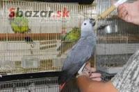 Sladké a krásne africké sivé papagáje na pred