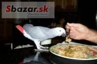 Kongo afrických Grey Papagáje pre milovníkov vt