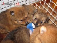 Pomeranian šteniatka !!!