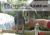 Pár hovoriť Africké Grey Papagáje
