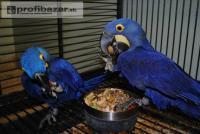 Nabízím Hyacint papoušek papoušci