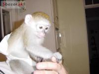 Dítě Kapucín Opice Pro Prodeji