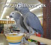 Žako kongo papoušci pro prodej
