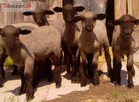 Jahňatá, ovce, bio, predaj