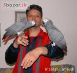 africký papagáj sivý na predaj