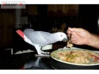 Ručne chovaných africkej šedej papagáje teraz