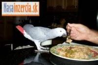 Žena Papagáj sivý na predaj