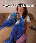 Ruku a modrá a zlatá papagáj dieťa
