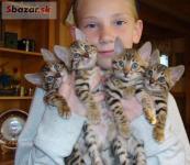 Bengálsko koťata k dispozici,