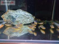 PREDAM Melanochromis aureatus - Tlamovec pestrý