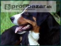 Appenzelský salašnícky pes