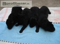 Prodám německý ovčák štěňata černá z PP