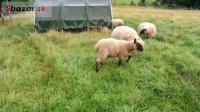 Jahňatá jahňa ovce barance baran CLUN FOREST