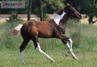 Luxusní hřebec APH