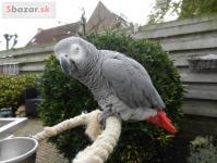 Africký papagáj sivý