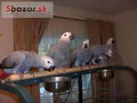 Prodám Žako Africké šedé papoušci
