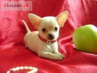Mini čivava šteňa