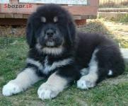 Tibetská doga - šteniatka k odberu