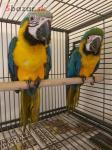 Nabídka Ara Ararauna papoušek