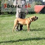 3 čistokrvné šteňatá fila brasiliero na preda