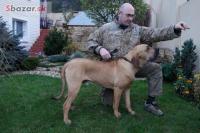 Šteňa-pes brazílska fila na predaj