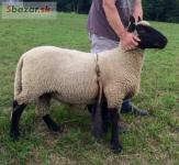 Cistokrevny beran Clun Forest baran ovca ovce