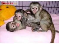 Kapucínský opice pro prodej