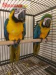 Ara Ararauna papoušci prodej