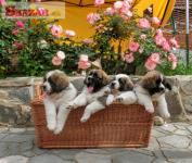 Moskovský strážny pes - štěňátka s PP FCI +