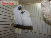 Prodám Deti Deštník kakadu papoušci