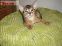 Prodám habešská koťátka s PP