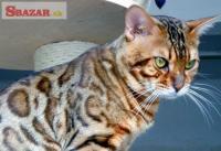 Bengálská mačka