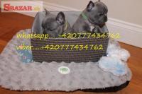 Na predaj šteniatka modrého francúzskeho buldo�