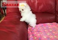 Pomeranian mini s FCI PP