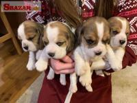 Kvalitné šteniatka Beagle