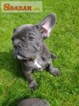 Predaj psov a šteniat francúzskeho buldočka