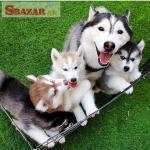 šteniatka pomského na adopciu