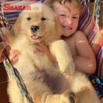 Zlaté šteniatka retrivera