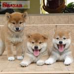 šteniatka shiba inu na adopciu