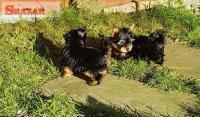 Jorkšírsky teriér šteniatko
