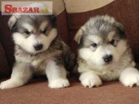 Aljašský malamut bude opäť doma