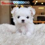Nádherné biele maltézske šteniatka na predaj