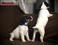 Krásne šteniatka Jack Russell teriéra