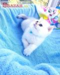 Nádherné dlhosrsté mačiatka Britishlo, teraz d