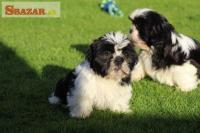 Sladké šteniatka a šteniatka Shih Tzu