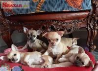 5 šteniat čivavy hľadá navždy domovy