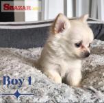 5 šteniatok Chihuahua, ktoré hľadajú navždy d