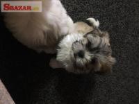 krásne šteniatko shitzu k dispozícii na adopciu