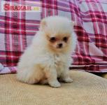 Nádherný Pomeranian hľadá nový domov